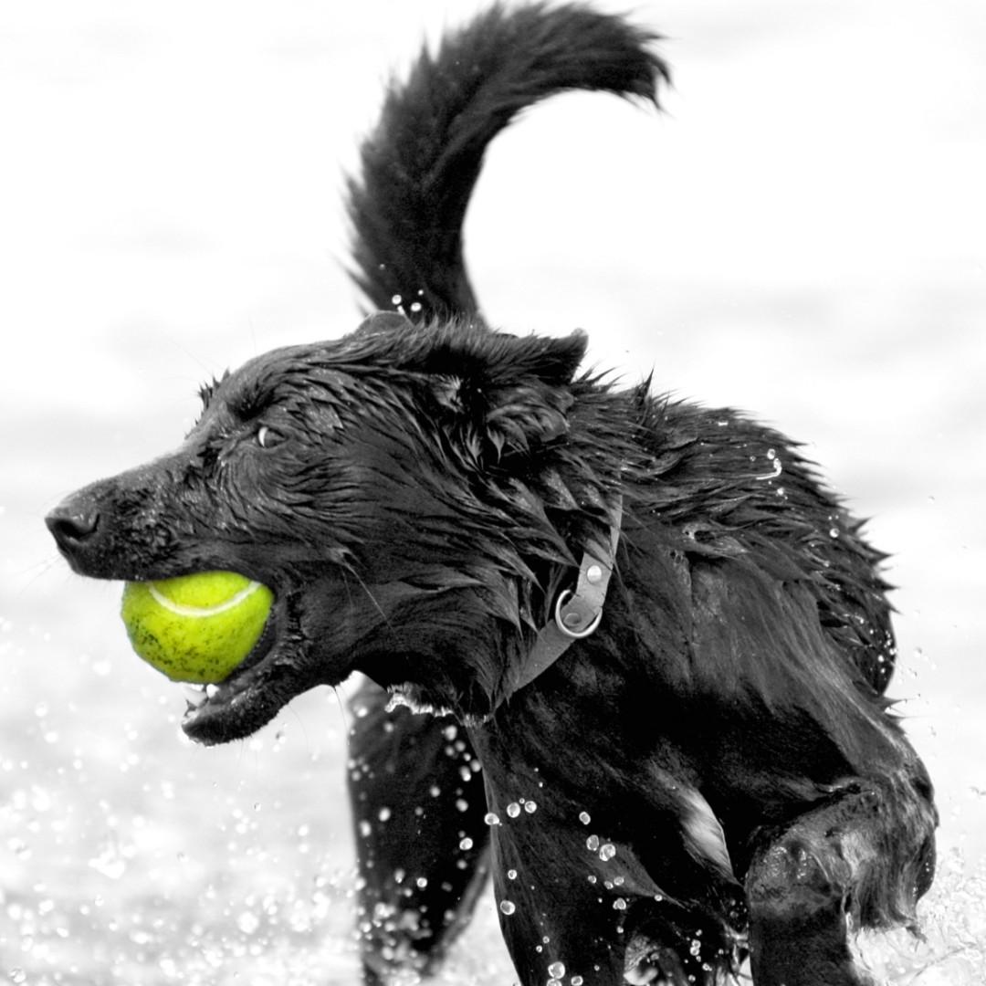 Formeget boldkast er skadeligt for hunden