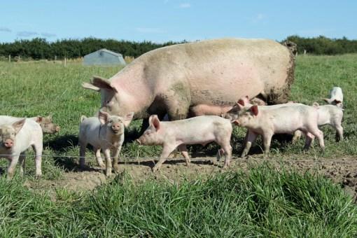 Glade grise smager bedre