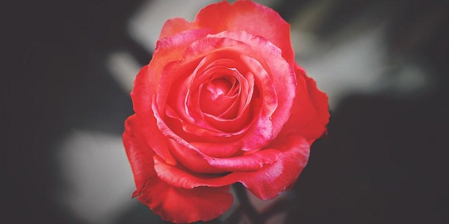 Rosen Verkauf in Deutschland Import