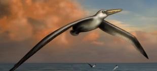 Dünyanın en büyük uçan kuşu keşfedildi!