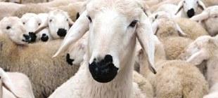 Kurban Bayramı ile Hayvanları koruma günü aynı güne denk geldi!