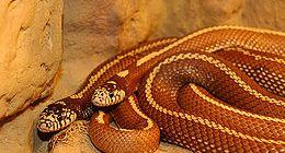 Yılanların inanılmaz aşk gösterisi
