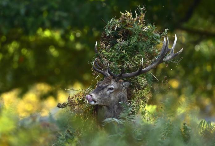 A male red deer with antlers covered in bracken, walks through undergrowth in Richmond Park in south west London