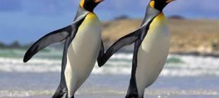 Eşcinsel penguen çifti heteroseksüel çiftin yumurtasını çaldı