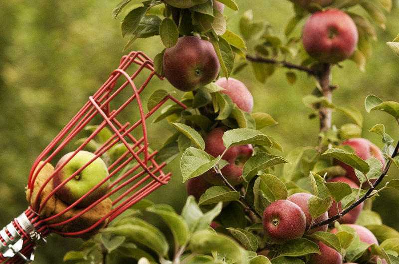 Time For The Authors Toddler Son To Learn A New England Ritual Apple Picking The Portland