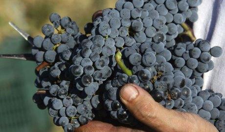 grappolo-uva-rossa-sangiovese-copertina