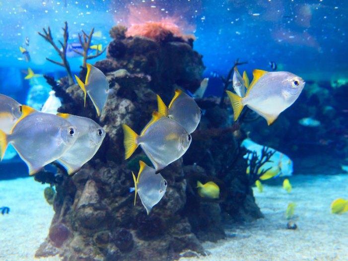 'Baby' coralli in declino sulla Grande Barriera