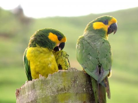 Loro Parque Fundacion contributes to the successful recovery of the Yellow-eared Parrot in Colombia 5