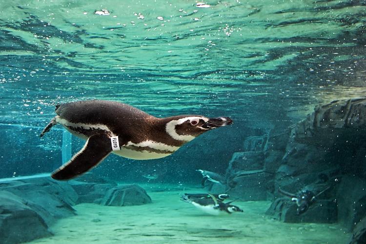 Aquarium Of The Pacific Brings Sea Animals To Your Homes Amid Coronavirus Pandemic Press Telegram