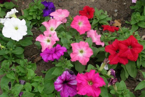 Plantation et entretien des fleurs annuelles dans un jardin for Plantation de fleurs