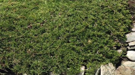 Exemples d 39 arbustes couvre sol l 39 ombre - Lierre rampant couvre sol ...
