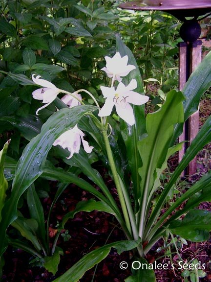 Crinum Lily: C. Jagus: St. Christopher Lily, Swamp Lily