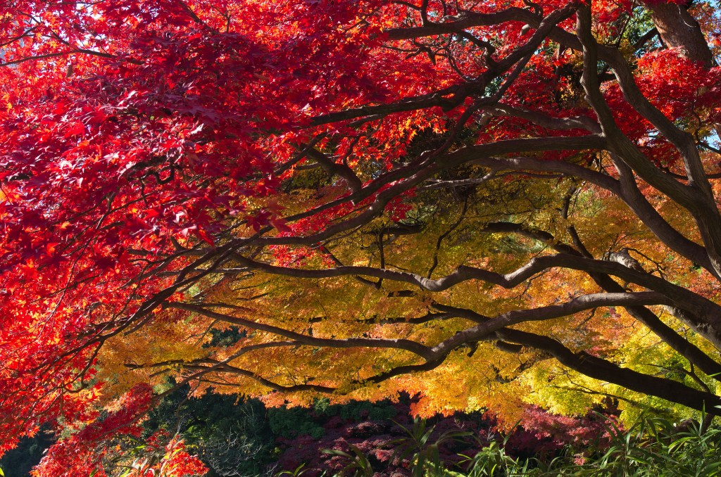 """""""Japanese Maple"""" by ozma. CC BY"""