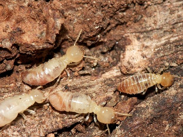 worker_termites