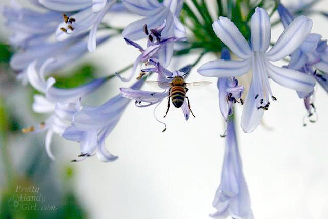 honeybee-agapanthus