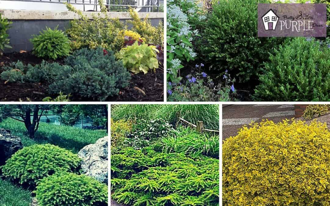 Evergreen Shrubs The Most Important Part Of Your Mixed Border Pretty Purple Door