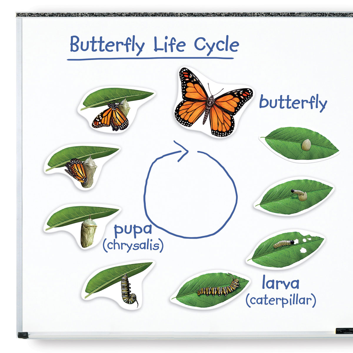 Buy School Giant Magnetic Butterfly Life Cycle