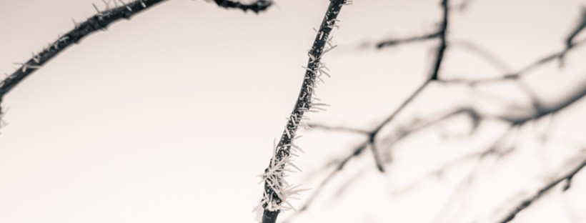 Hoar Frost on Branch