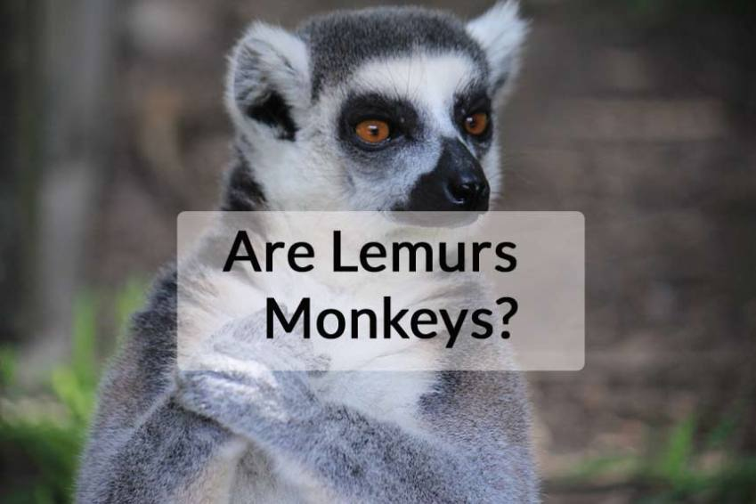 are-lemurs-monkeys