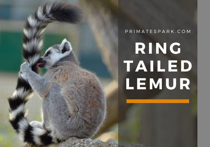 Ring tailed Lemur catta Behavior