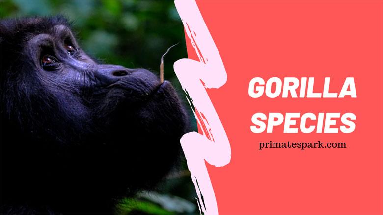 gorilla-species