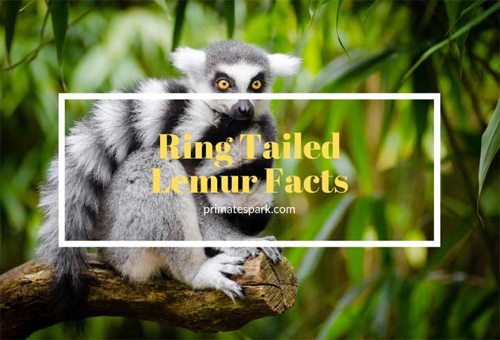ring-tailed-lemur-facts