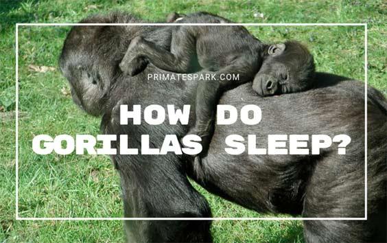 how-do-gorillas-sleep