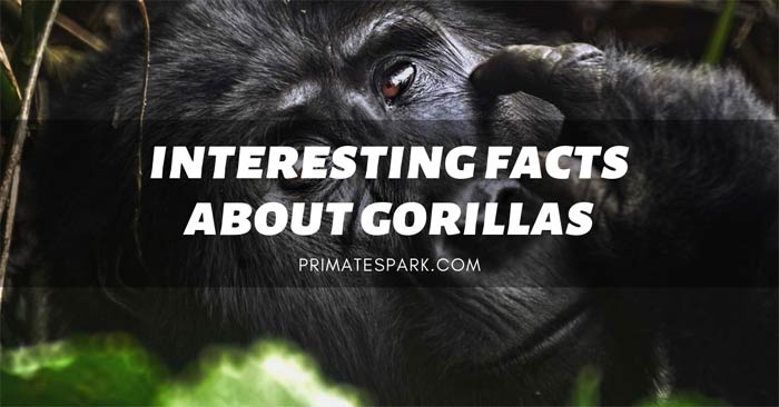 interesting facts about gorillas