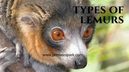 types-of-lemurs