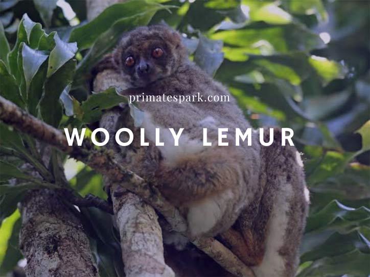 woolly lemur