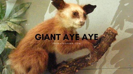 giant aye aye