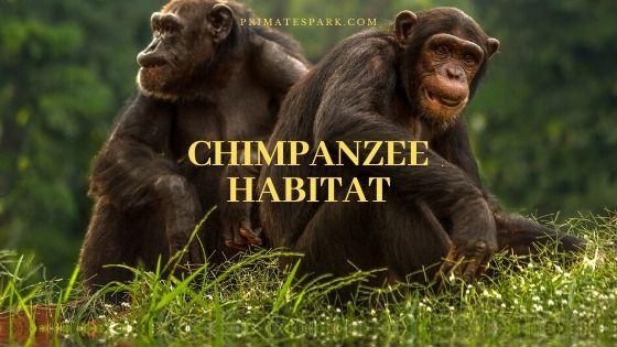chimpanzee habitat