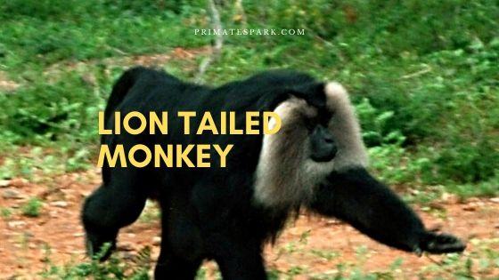 lion tailed monkey