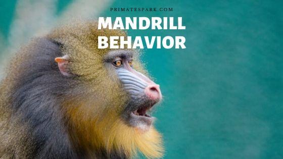 mandrill behavior