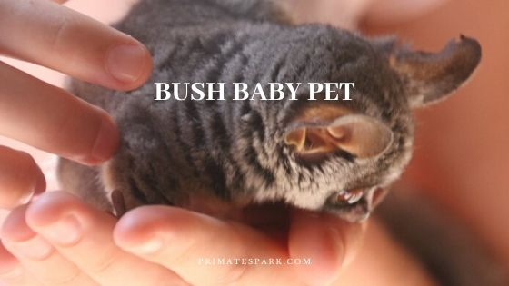 is Bush Baby Pet Legal and Ethical