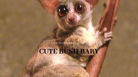 cute bush baby