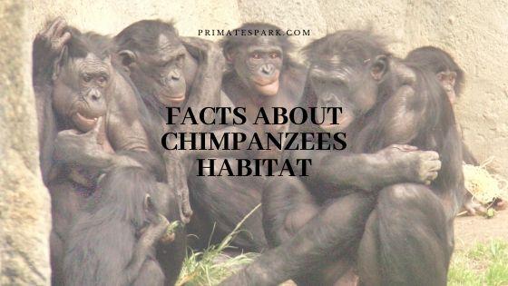 facts about chimpanzees habitat