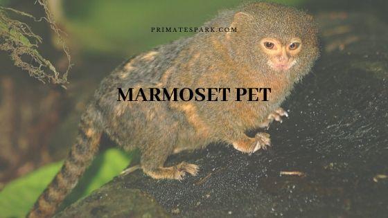 marmoset pet