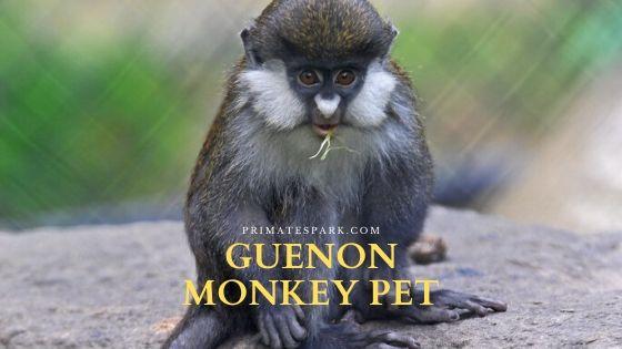 guenon monkey pet