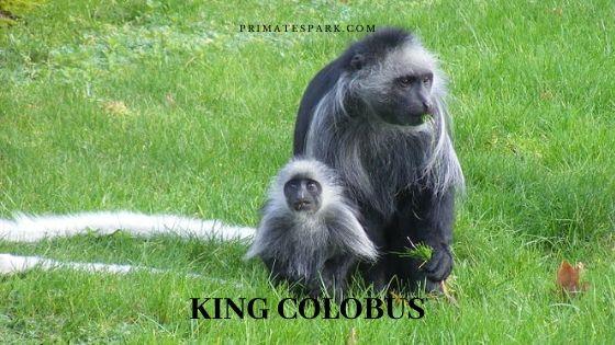 king colobus