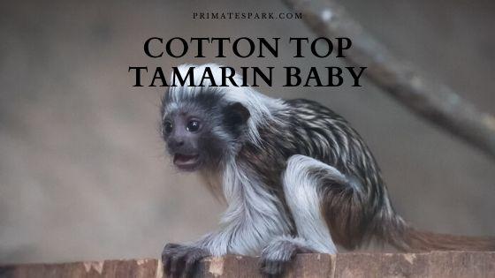 cotton top tamarin Saguinus oedipus baby