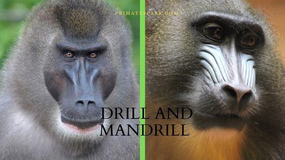 drill and mandrill