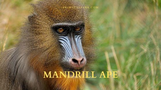 mandrill ape