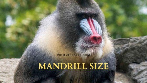 mandrill size