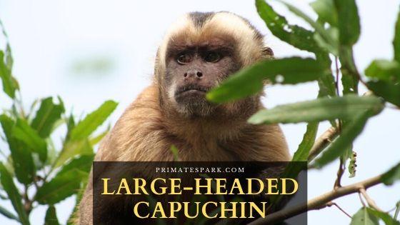 Large-headed capuchin