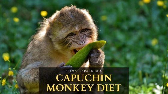 capuchin monkey diet
