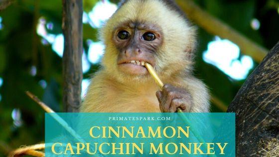 cinnamon capuchin monkey