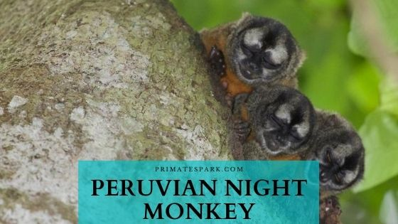peruvian night monkey