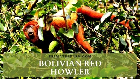 Bolivian red howler