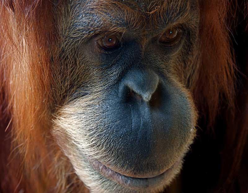 Male Sumatran Orangutan